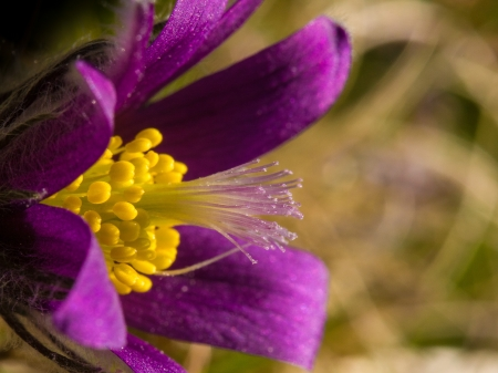 pasqueflower: Pasqueflower