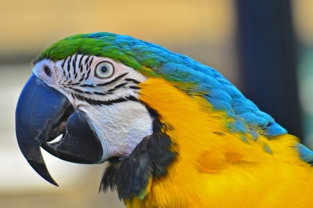 A close up head shot of a colorful blue headed Macaw with the detail of his head feathers and face lines. photo