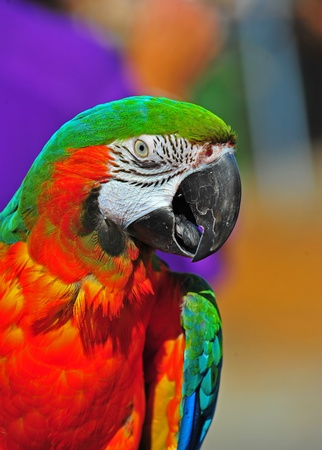 A head shot of a resting Macaw as this portrait captures the details of the feathers on his head and the lines in his face as he looks deep into the camera. on this Macaws face as he looks into the camera with a purple back ground.