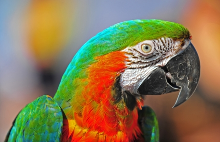 maccaw: Profile of a bright colorful parrot