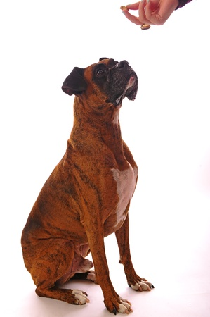 An older male boxer sits and looks up at the hand that is feeding him as he patiently waits for his reward.   on a white background. photo