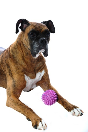 An older boxer dog laying down with his prize toy ball between his paws.