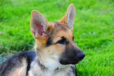 german shepard: A German Shepard puppy looks off camera to the right as he enjoys laying in the grass.