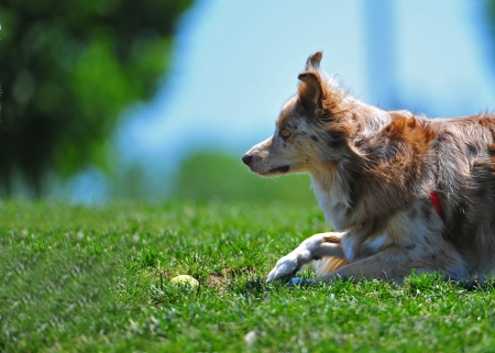 A dog anxiously lays in the grass waiting for someone to pick up her ball and and play with her Stock Photo - 13872693