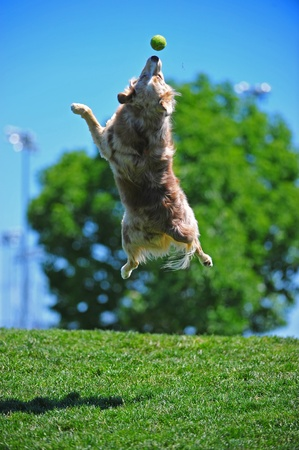 running nose: A dog playing catch in the park keeps his eye on the ball as he leaps for the catch.