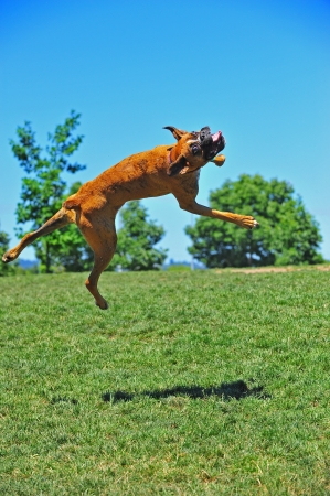 A female Brindle Boxer dog at play in the park spins in the air as she leaps for joy