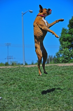 Boxer jumping in the air
