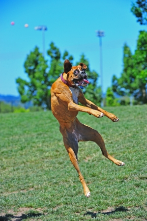 A female Brindle Boxer dog at play in the park leaps to catch the water being sprayed above her head by a squirt gun  Stock Photo