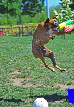 Boxer attack of a squirt gun
