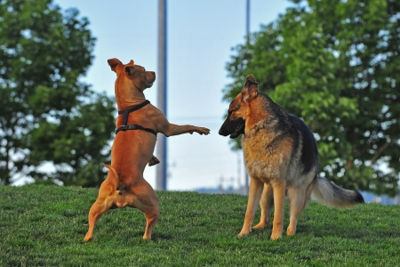 Two playful dogs playing in the park as the pit bull stands up as if in a boxers stance ready to take on the german shepart