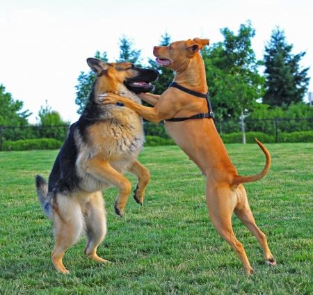 german shepard: Two playful dogs playing in the park are caught wresting each other to get the upper paw   The pit bull is winning over the German Shepard at this moment  Stock Photo