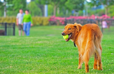 A Golden Retriever looks back over his shoulders after catching the ball