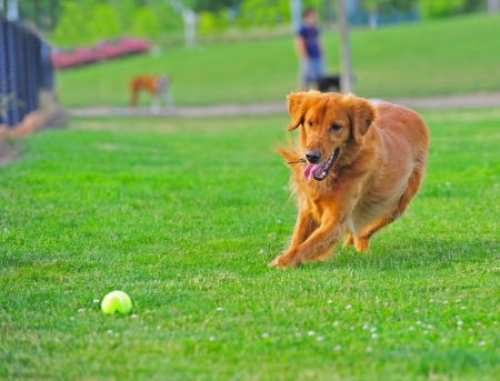 A Golden Retriever moves in on the ball durring a game of catch with his owners