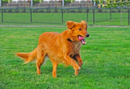A Golden Retriever runs after a ball that got by, as his hair flows with his movement and the excitement on his face