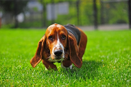 An adorable Basset Hound runs to the camera that is at his level.  Whiskers are going in every direction. Stock Photo
