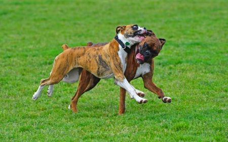 A pair of Brindle Boxer dogs playing in a dog park with the blur of the green grass as they run through the park