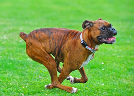 Abstract blurs as a brindle boxer dog runs through a field