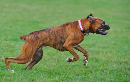 brindle: A male Brindle Boxer dog leaps forward at the start of his run