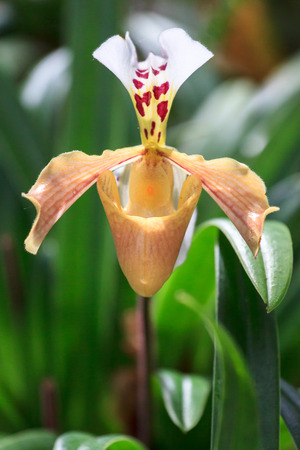 This orchid in Thai call Ladys Slipper,Royal Project, Chiang Mai ,Thailand photo