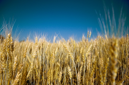 cebada: Cebada madura de oro contra el cielo azul de fondo