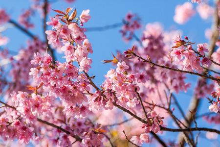 pith: Thai pink sakura blooming in winter at Intanon mountains ,Chiang mai ,Thailand
