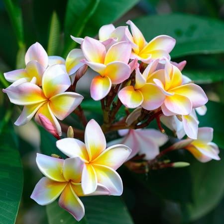 Close up of rainbow plumeria blossom , Chiang Mai ,Thailand photo