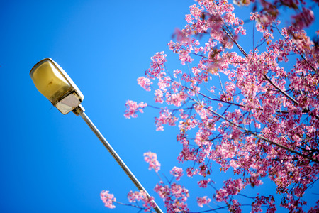 street light and sakura blooming against the blue sky ,Chiang mai ,Thailand photo