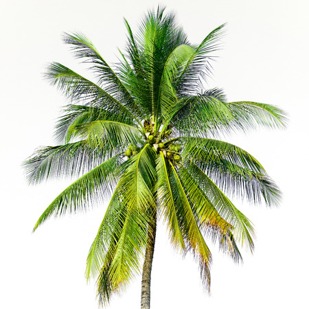 coconut tree on blue sky background photo