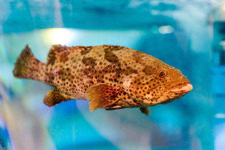 Grouper fish in swim tank for sale ,Chiang mai , Thailand