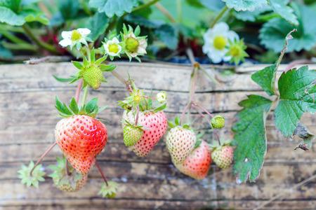 新鮮な家庭栽培イチゴ