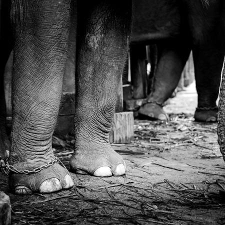 Elefanten angekettet Standard-Bild - 33131325