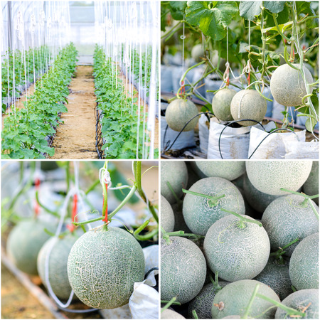 Collage of melon in green house farm photo