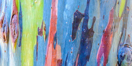 Colorful trunk of the rainbow eucalyptus tree