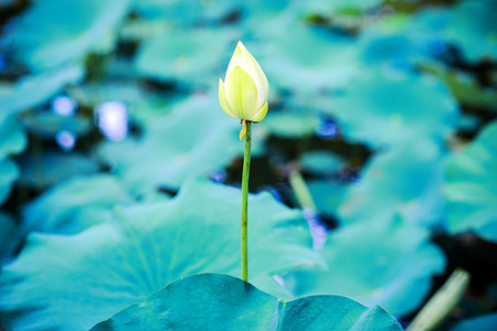 white water Lilly in blue lake photo
