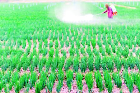 Farmer spraying pesticide on onion field