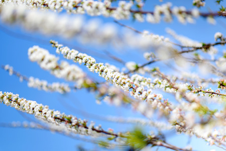 sky brunch: The brunch of blossoming spring tree  White peach flower in blue sky Stock Photo
