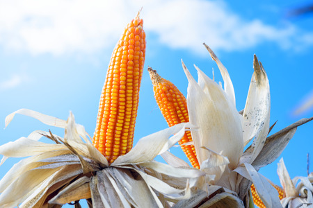 iowa agriculture: corn for field testing with blue sky