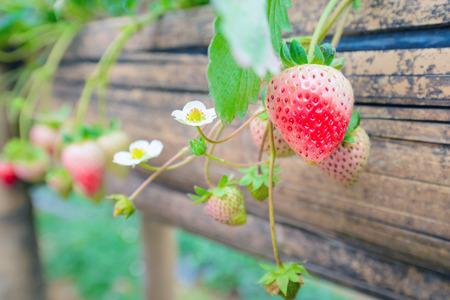 grown: Fresh home grown strawberries Stock Photo
