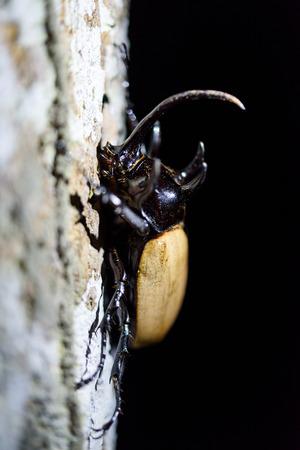 geotrupes: rhino beetle bug isolated on black background Stock Photo