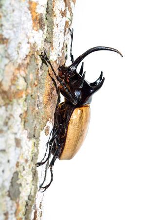 geotrupes: rhino beetle bug isolated on white background