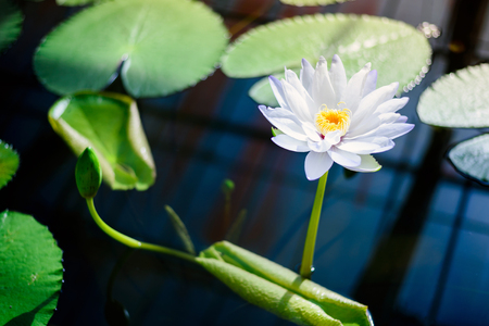 beautiful Lotus flower in pond with Sunshine