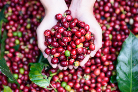 Fresh red berries coffee beans in woman hand Archivio Fotografico