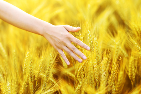 woman hand touching golden wheat ear in wheat field