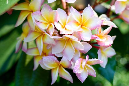 Close up of rainbow plumeria blossom , Chiang Mai ,Thailand