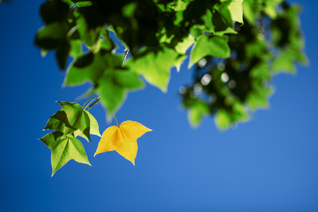 Leaves Mable change color on blue sky background , autumn green maple leaf