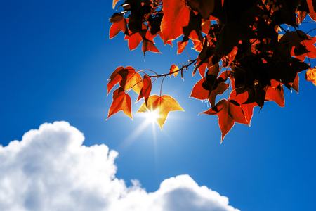 Leaves Mable change color on blue sky background , autumn red maple leaf Stock Photo