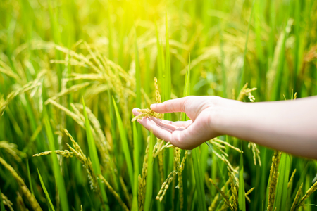 womans hands hold yellow rice paddy in green rice field in soft light of sunset