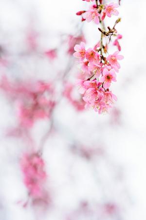Beautiful pink cherry blossom , sakura flower