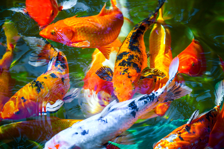 colorful Koi fish with water ripple in zen gourami Stock Photo