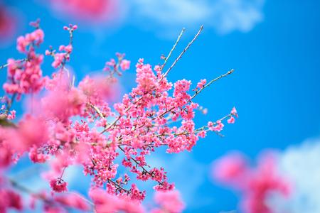 Pink Cherry blossom , Sakura flower blooming in blue sky